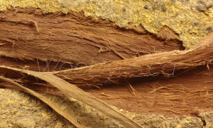 Acacia Confusa Trunk Bark (Wild-Harvested Whole)